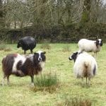 Expectant Ewes