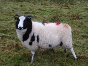 a Jacob ewe expecting triplets